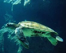 χελώνα Caretta-Caretta